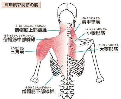 肩周りの筋肉図解